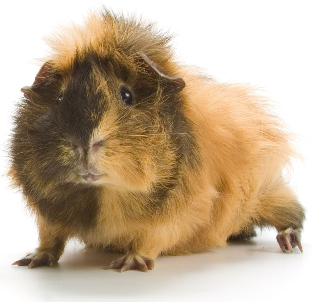 The Abyssinian Guinea Pig Guide | Guinea Pig Hub