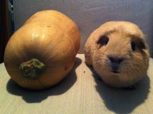 Funny Cavy Pictures