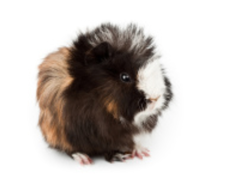 Abyssinian guinea pigs are usually in the shape of a round ball.
