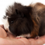 The Abyssinian Guinea Pig Guide