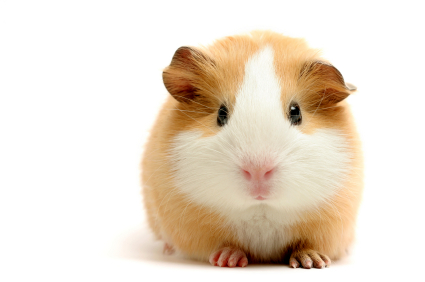American, the most common guinea pig breed.