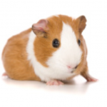 8 Guinea Pig Facts That May Surprise You