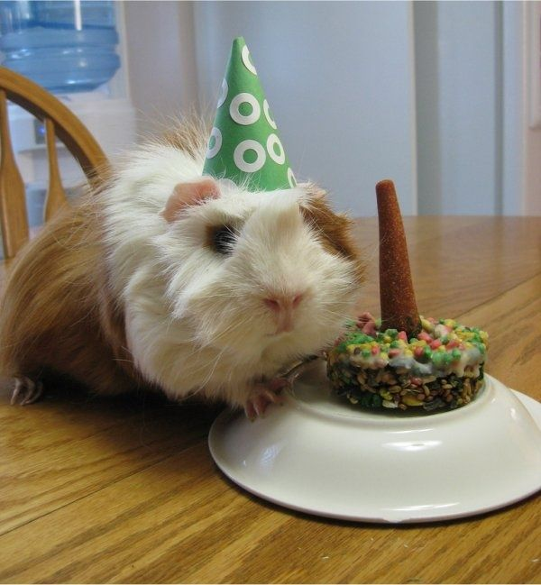 Easy Party Games: Funny Guinea Pig Pictures