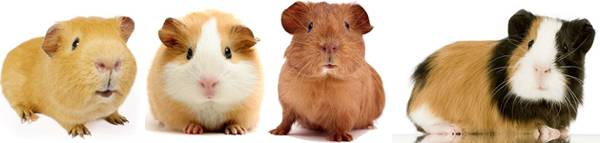 Four little American Guinea Pigs sit together and pose for a picture.