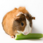 Can Guinea Pigs Eat Celery? A Quick Guide