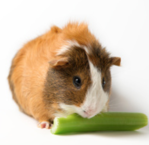 what are guinea pigs Introduction humans have kept and used the domestic guinea pig for thousands  of years in western societies, these social rodents are kept as pets, bred for.