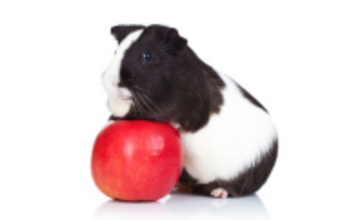 American guinea pig posing on top of an apple.
