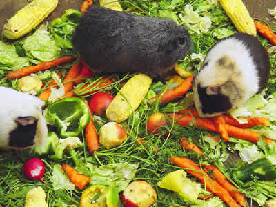 Two guinea pigs munch on a delicious apple salad.