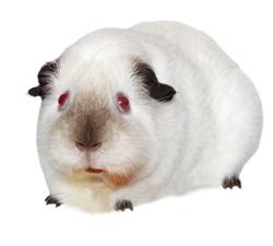 Short haired guinea pig breeds best short hair 2017 all things guinea pig breeds and varieties sciox Gallery