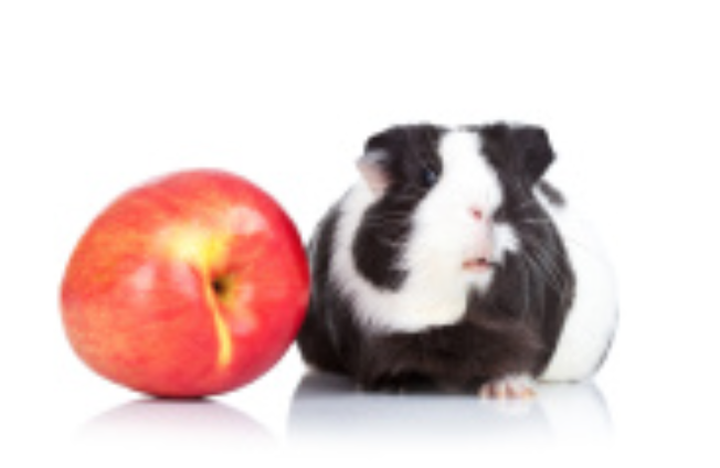 A black and white guinea pig is considering eating the apple.