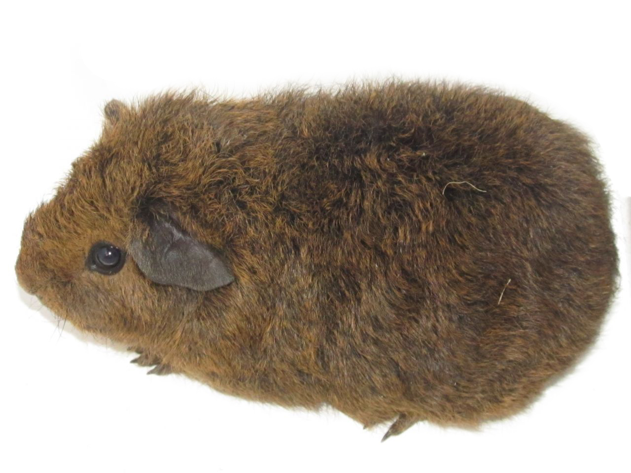 The Rex guinea pig has a rough coat.