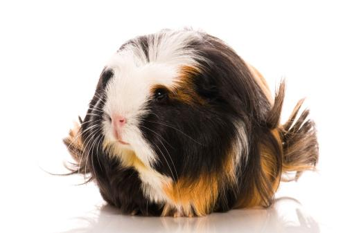 Mozart the silkie guinea pig.
