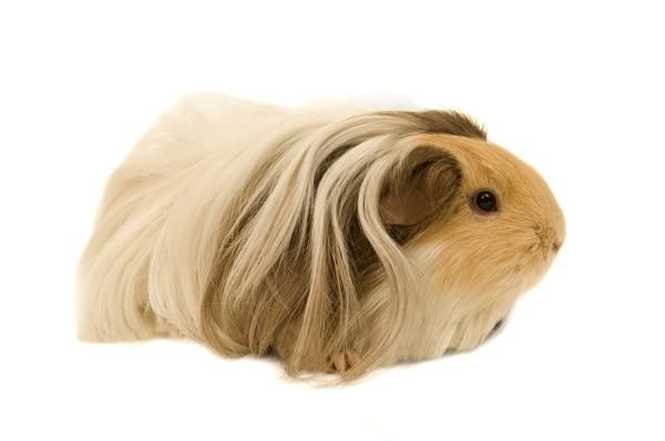 SIlkie guinea pigs have pulled back hair.