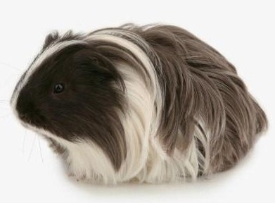 Silkie guinea pigs have long and straight hair that sweeps back.