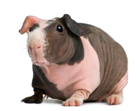 Skinny pigs may be the most unique kind of guinea pig.