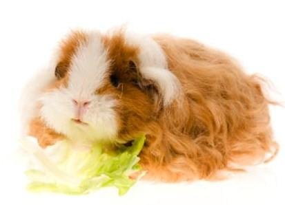 The Texel is my favorite type of guinea pig.