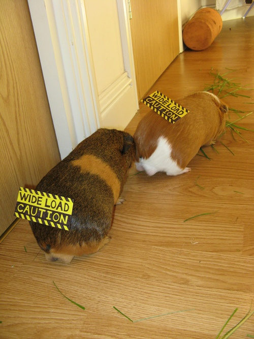 Wide Load Sign >> Funny Guinea Pig Pictures | Guinea Pig Hub