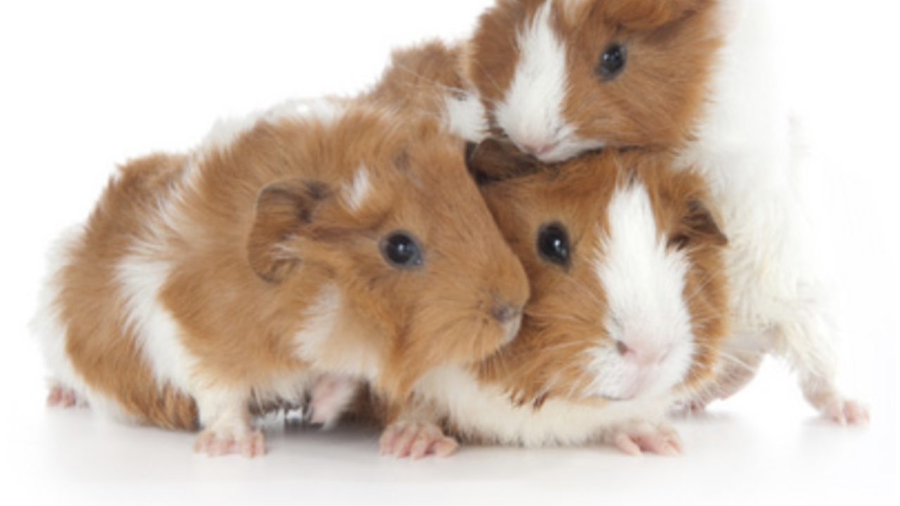 Baby Guinea Pigs - The Owner's Care Guide - Guinea Pig Hub