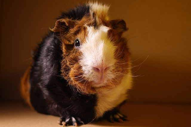 Abyssinians are our personal favorite of all guinea pig breeds.