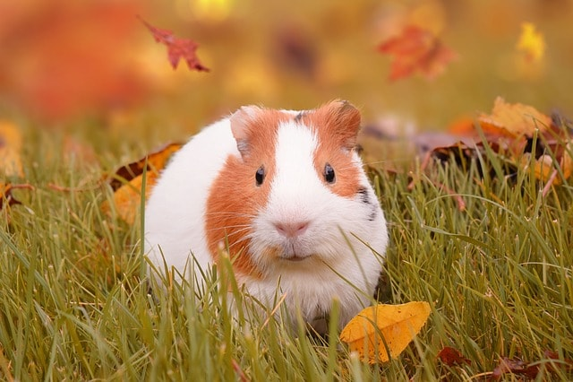 The American is perhaps the most popular of guinea pig breeds.