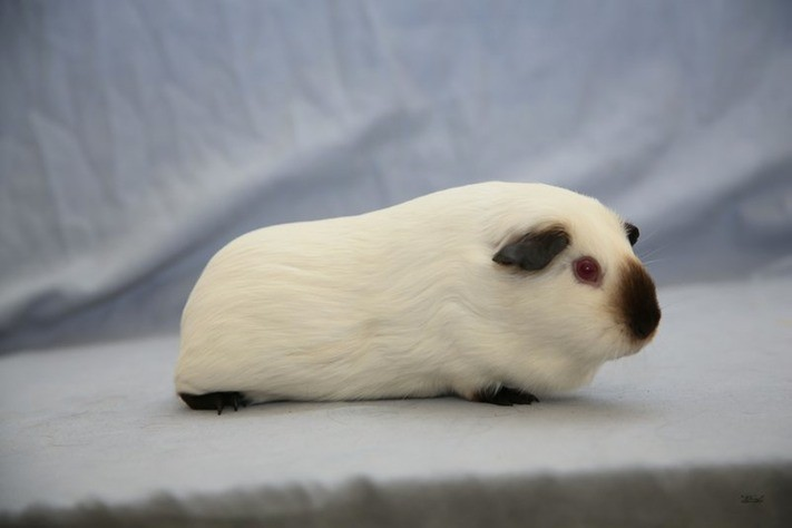 Mostly white Himilayan guinea pig breed.